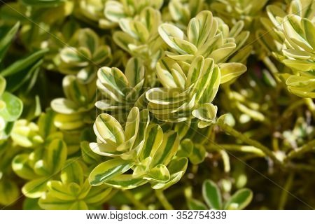 Variegated Hebe Leaves - Latin Name - Hebe Variegata