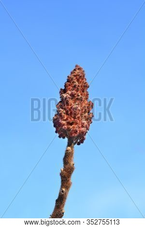 Staghorn Sumac Flower Against Blue Sky - Latin Name - Rhus Typhina
