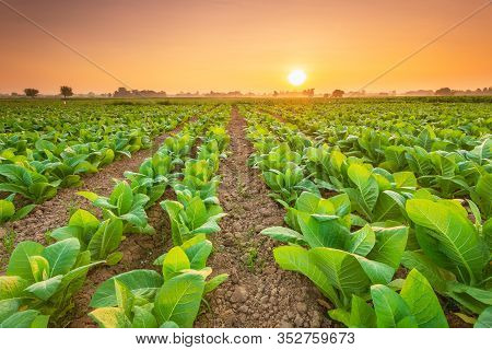 View Of Tobacco Plant In The Field At Sukhothai Province, Northern Of Thailand