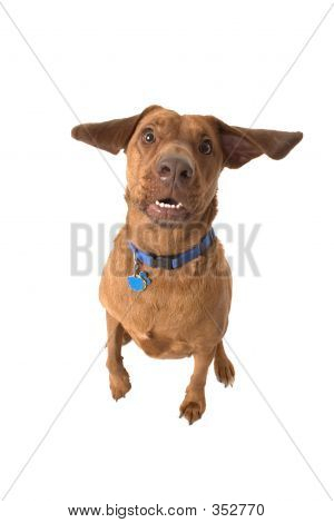 wrigley, the dog, ear flapping, mouth open. poster