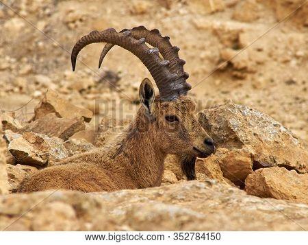 Nubian Ibex (capra Ibex Nubia-na) Ramon Crater, Negev Desert, Israel - Wild Nature Image