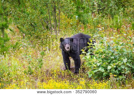 Black bear in the forest, Canada, summer season