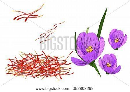 Saffron And Crocus Isolated On White Background. Dried Spice Saffron Threads. Crocus Flower. Saffron