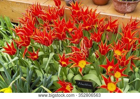 Tulipa Of The Aladdin  Species In A Greenhouse.