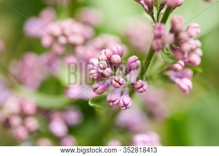 Barely Blooming Lilac Flowers. Violet And Purple Spring Background. Sprig Of Lilac