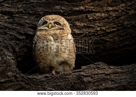 Spotted Owlet Or Athene Brama Perched On A Textured Dead Tree Trunk In His Nest At Keoladeo National
