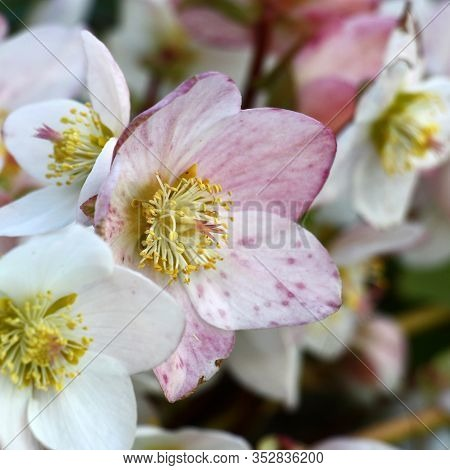 Helleborus Flowers Close Up With The White Petals And Petals Which Are Turning Pink.