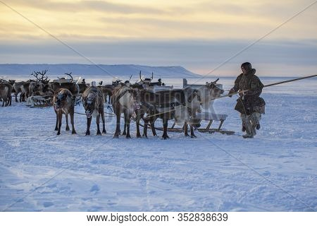 Nadym, Russia - February 23, 2020: The Extreme North, Yamal Peninsula, Deer Harness With Reindeer, P