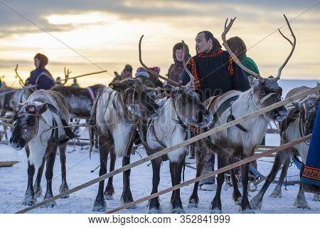 The Extreme North, Yamal Peninsula, Deer Harness With Reindeer, Pasture Of Nenets, Herd Of Reindeer