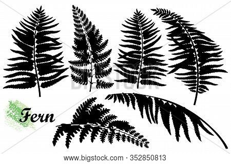 Vector Set Of Silhouettes Fossil Forest Fern Leaves In Black Isolated On White Background. Fern Foli