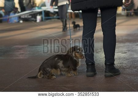 Small Long-haired Marble Dachshund At The Exhibition With His Mistress