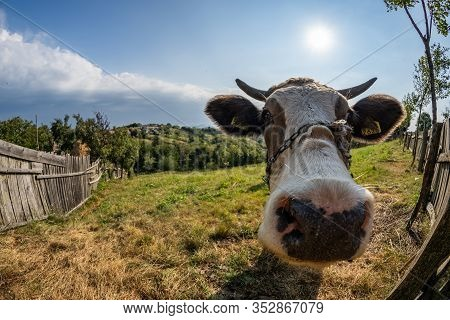 Portrait Of Cow In Pasture Near The Town In Romanian Banat