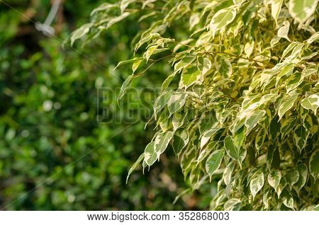 Ficus Benjamina Twilight, Ficus Tree In Sun Light With Space For Text