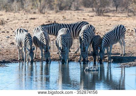 A Group Of Burchells Plains Zebra -equus Quagga Burchelli- Drinking From A Waterhole In Etosha Natio