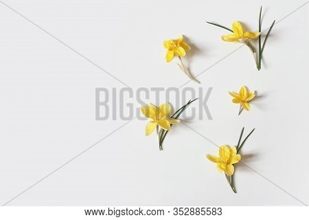 Spring, Easter Floral Composition. Yellow Crocuses Flowers With Green Leaves Isolated On White Table