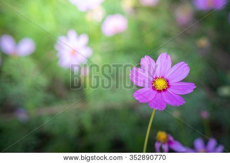 Beautiful Cosmos Flowers In Garden. Nature Background.