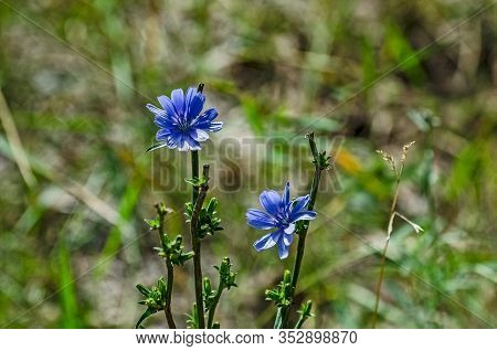 Beautiful Blue Flowers With Tough Stems Found Throughout The United States