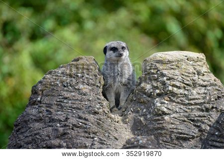 Meerkat, Suricata Suricatta, Standing On Rear Legs Guarding Its Terrain