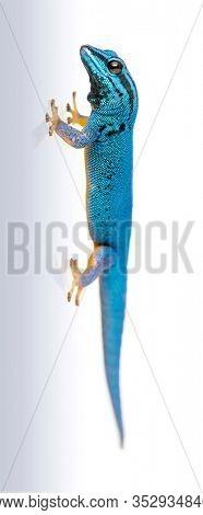 Electric blue gecko, Lygodactylus williamsi, isolated