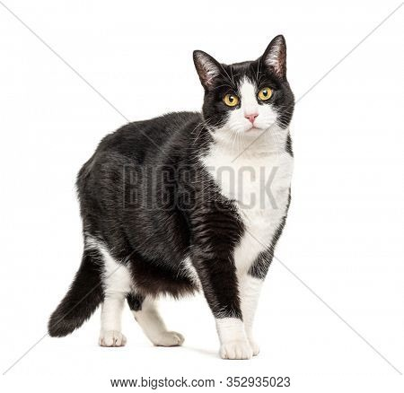 Black and white crossbreed cat standing, isolated on white