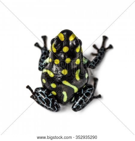 Top view of a Spotted poison frog, Spotted poison frog, isolated on white