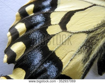Butterfly Wing Swallowtail Close-up. Abstract Background Of A Colorful Butterfly Wing. Scaly-winged.