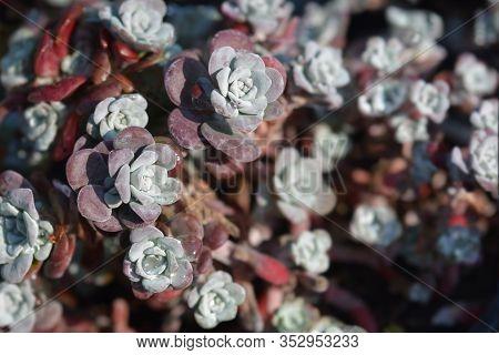 Broadleaf Stonecrop - Latin Name - Sedum Spathulifolium