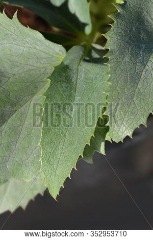 Corsican Hellebore Silver Lace - Latin Name - Helleborus Lividus Subsp. Corsicus (helleborus Argutif