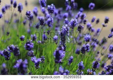 Lavender Close-up In Summer With Great Colors