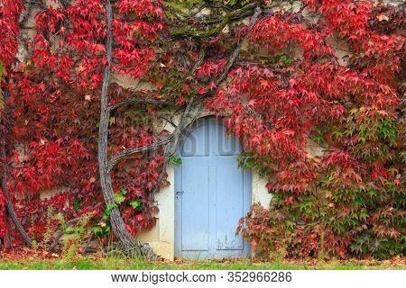 Old and large red creeper covering a home wall around the wooden door.