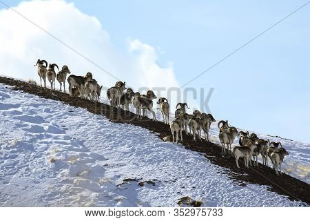 Group Of Marco Polo Sheep On A Snowy Mountainside. A Herd Of Young Male Argali Marco Polo On A Rocky