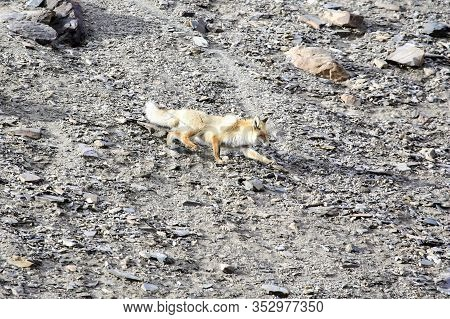 A Wild Red Fox Descends A Rocky Slope. An Adult Common Asian Fox Crosses An Open Section Of The Moun