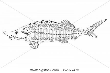 Sturgeon Fish Graphic Black White Isolated Illustration Vector