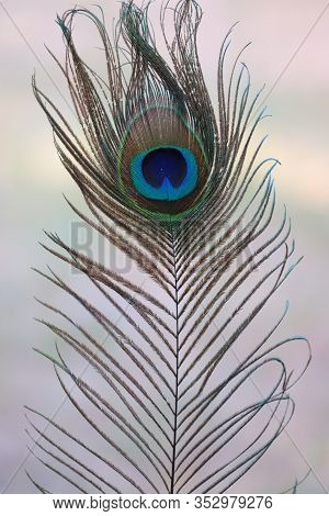 Peacock Feather Close Up (portrait) , Close-up Of Colorful Natural Peacock Tails & Eye Feathers. The