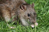 Close up photo with wild rat in grass poster