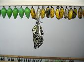paper Kite Or Rice Paper Butterfly with chrysalis poster