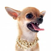 portrait of a angry purebred chihuahua with pearl collar in front of white background poster