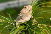 A Bearded Dragon Lizard (Pogona vitticeps) on the palm tree. poster