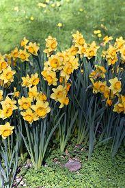 Spring Yellow Vivid Fresh Daffodil Flowerscape Background.