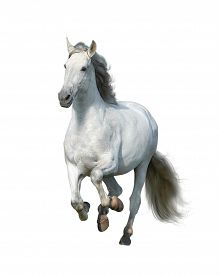 White Andalusian Stallion Isolated On White Front View. White Horse Gallop. Running Gray Horse Isola