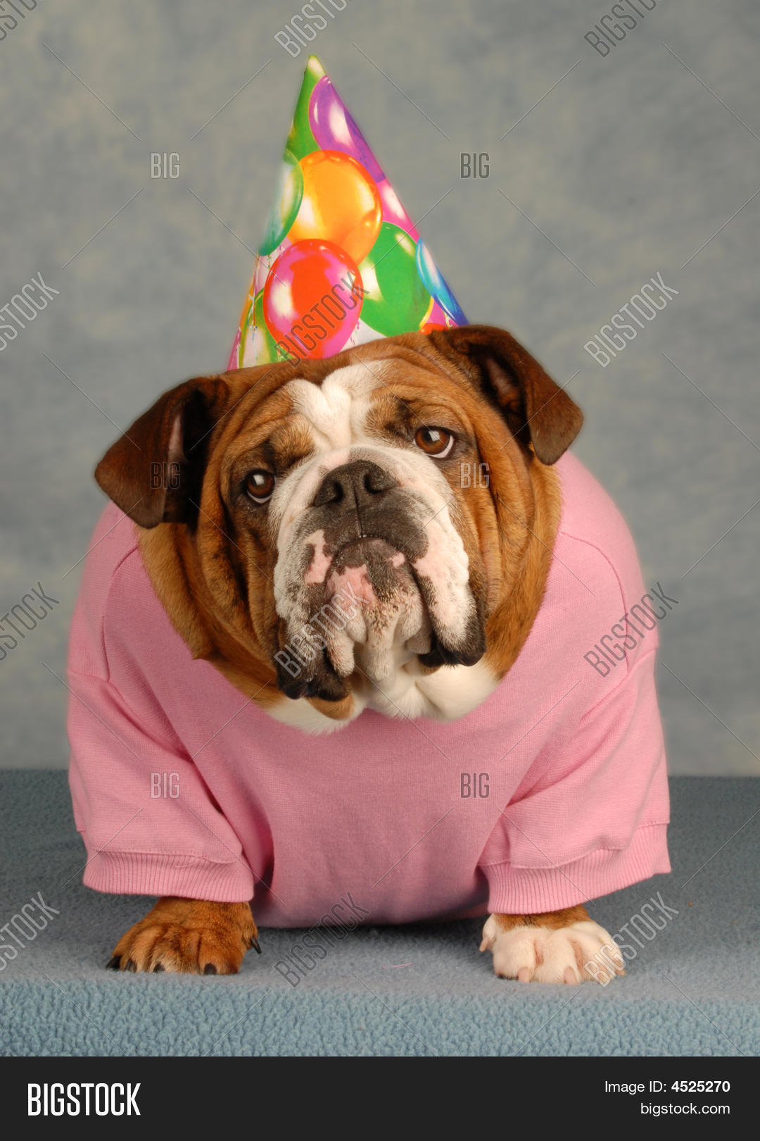 Adorable English Bulldog With Pink Shirt And Birthday Hat On Blue Background