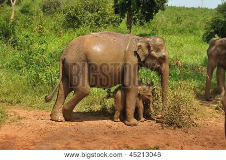 Asian elephant mother and baby, Sri Lanka