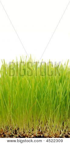 Wheatgrass Up Close