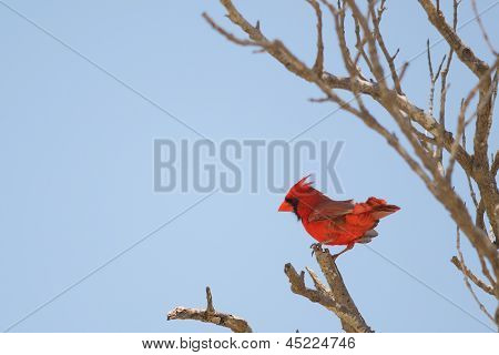 Norther Cardinal Perched
