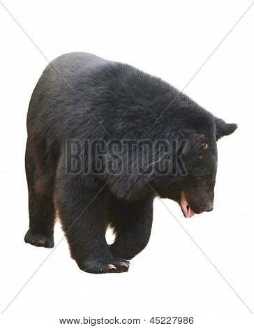 asiatic black bear isolated on white background poster