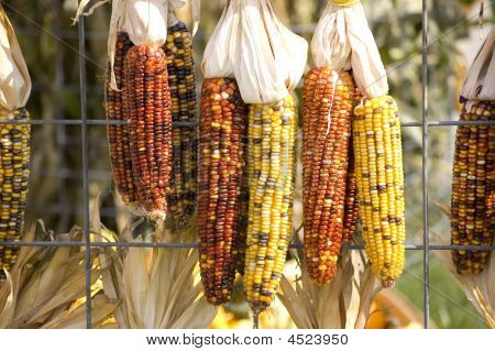 Indian Corn On Fence