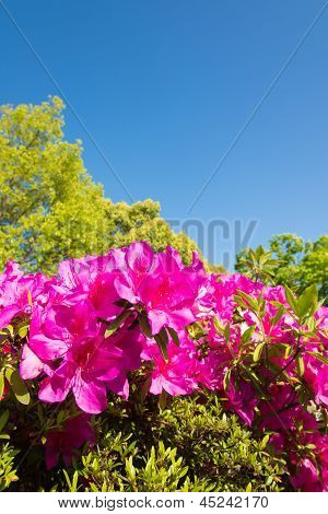 Blue Sky And Azalea