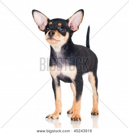 russian toy terrier dog puppy on white background poster