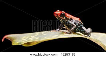 reticulated poison dart frog, bright red rainforest animal living in the jungle of Peru. This small amazon rain forest amphibian is poisonous and warns with bright red colours. Ranitomeya reticulata
