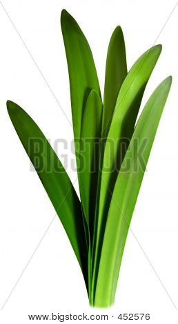 Green Amaryllis Shoots
